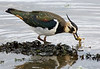 Lapwing with food. John Chapman.
