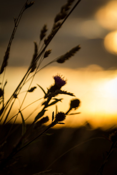 Sunset Swaying Grass