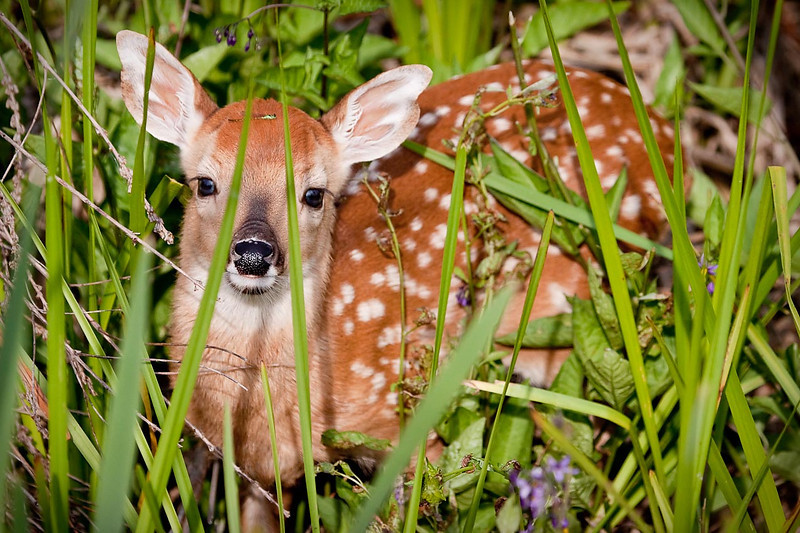 White-Tailed Deer Fawn with Damselfly on Head