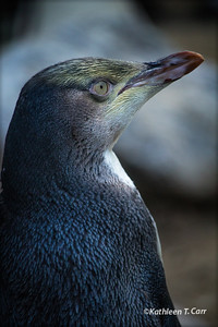 Rare Yellow-Eyed Penguin
