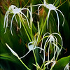 White Spider Lily