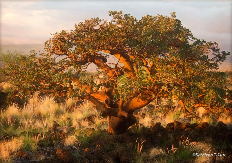 Wiliwili Tree at Sunset