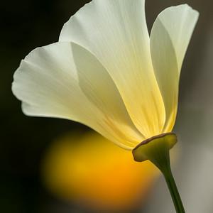 White Poppy #2 - Stretch into Darkness