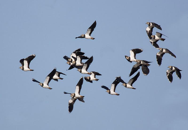 Flock of Lapwings.