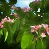 Pink Bauhinia Bush