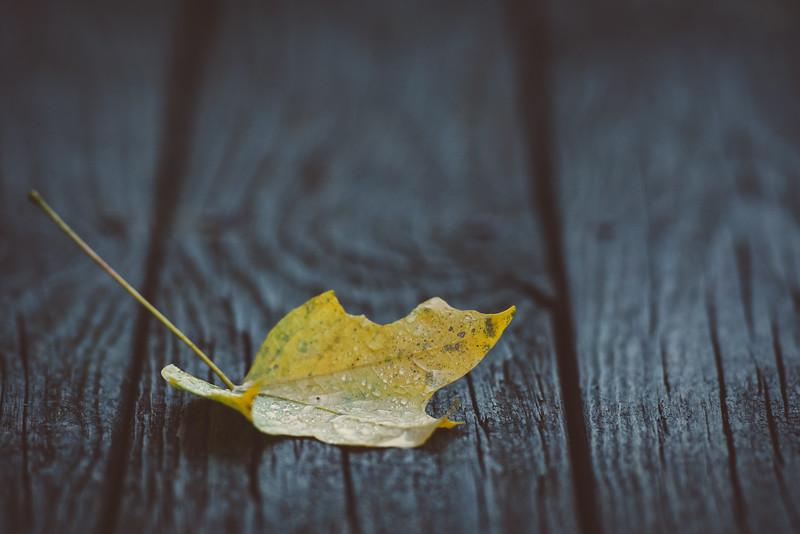 """""""Yellow Maple"""""""