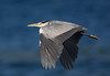 Grey Heron.
