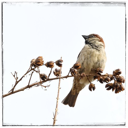 Little Sparrow