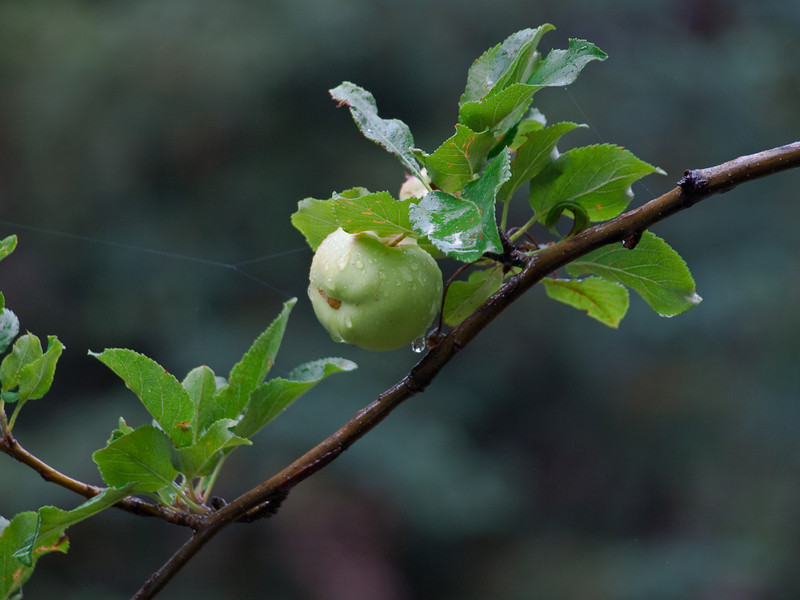 A apple after a summer shower photographed of the cabins front porch.