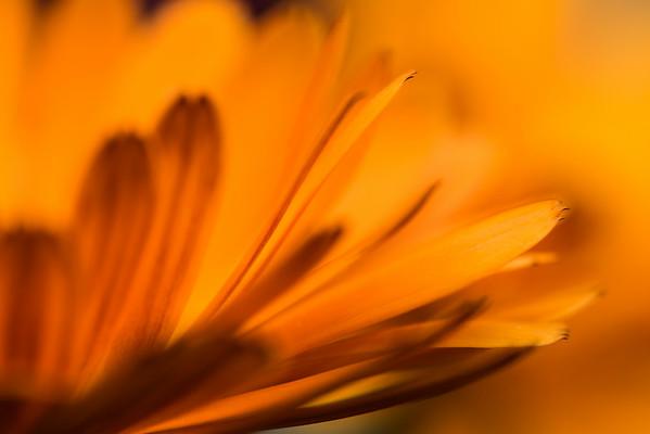 Marigold Petals #1
