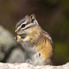 This photo was taken of a Chipmunk by Needles Highway in South Dakota during a rest break along the route.