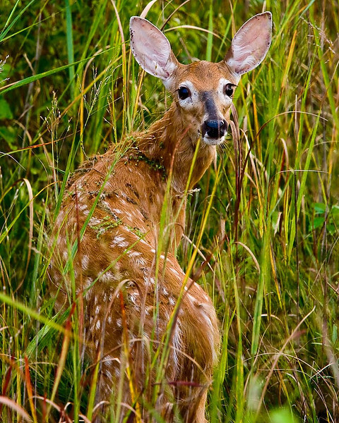 Fawn White-Tailed Deer, DeSoto National Wildlife Refuge, Nebraska/Iowa