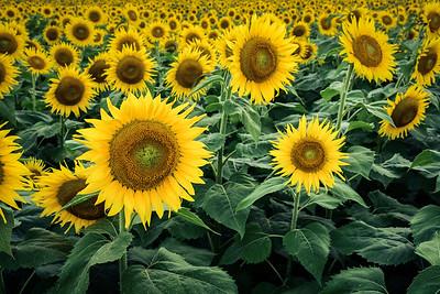 """North Georgia Sunflowers"""