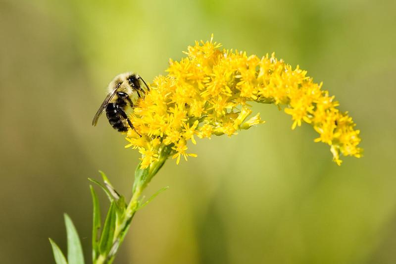 Mining Bee, Huff Nature Preserve, Grand Rapids, Michigan