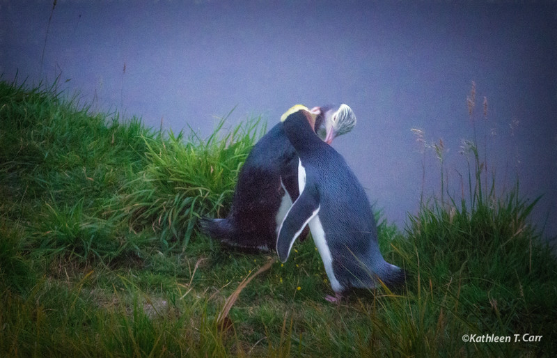 Yellow-Eyed Penguins Courting #66
