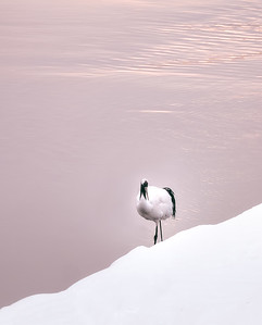 The Majestic Red-crowned Crane