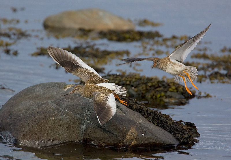 Young Redshanks.