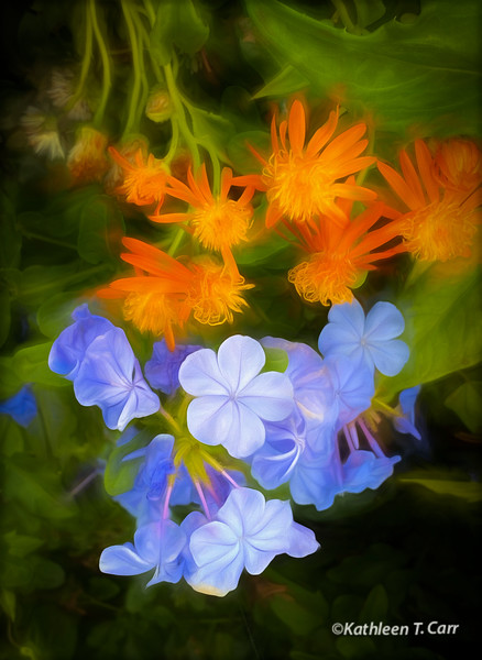 Blue Plumbago and Orange Flowers