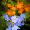 Blue Plumbago and Orange Flowers