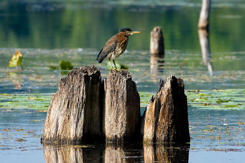 Juvenile Green Heron, Pickerel Lake Nature Preserve, Michigan