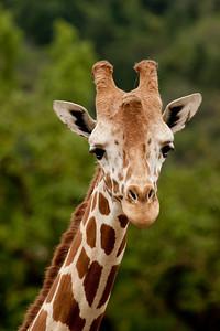 Reticulated African Giraffe