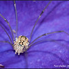 Spider on purple