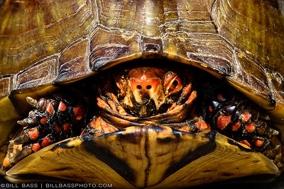 Three-toed Box Turtle (Terrapene carolina triunguis)