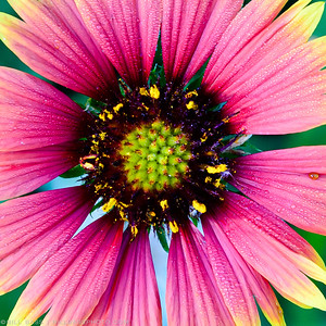 Indian Blanket (Gaillardia pulchella). A native wildflower to the Texas region, typically blooming in early summer. Native wildflower are a great addition to your landscape and a good way to help reduce your dependence on a landscapes water needs.