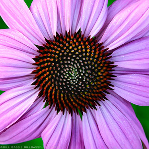 Narrowleaf Purple Coneflower (Echinacea pallida)