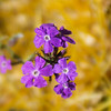 Purple Flowers on Catus