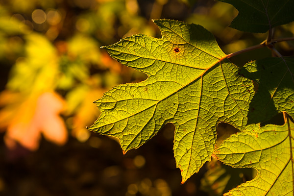 Close up details of backlit maple leaves at the golden hour in Autumn
