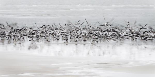 Motion blur of black skimmers taking flight on Tybee Island