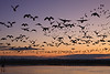 Silhouetted snow geese in flight at dusk in Bosque del Apache