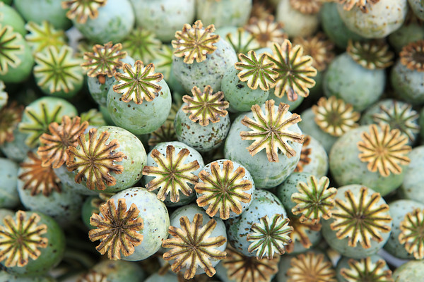 Close up of starburst details of many poppy seed pods