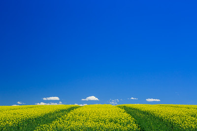 Blue sky and golden flower field in Montana