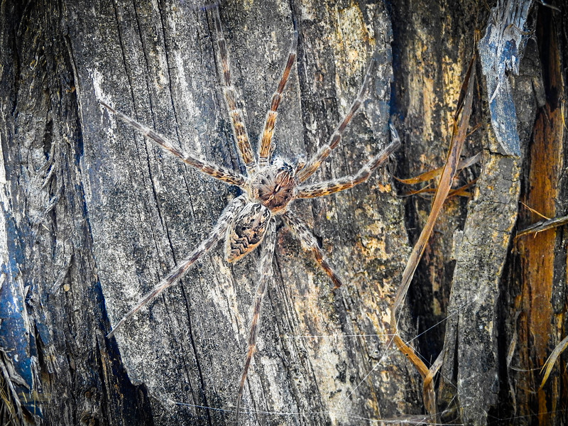 Fishing Spider on cypress tree in Scatterman