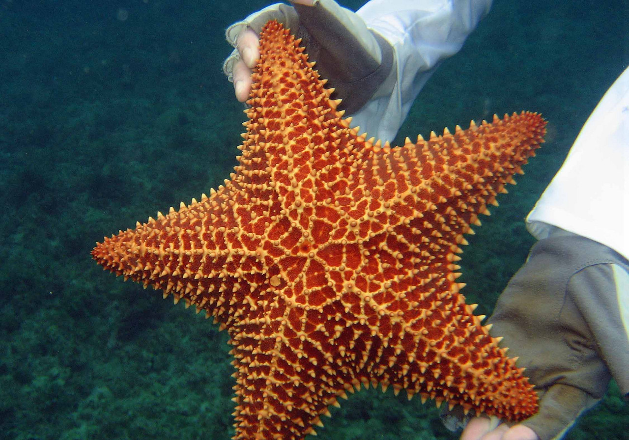 "Reticulated or Cushion Sea Star -- Oreaster reticulatus<br /> <br /> 'When the stars in the sky<br /> ignore the firmament<br /> and go off to sleep by day,<br /> the stars of the water greet<br /> the sky buried in the sea<br /> inaugurating the duties<br /> of the new undersea heavens.' ~ ""Starfish"" by Pablo Neruda, trans. by Maria Jacketti and Dennis Maloney"