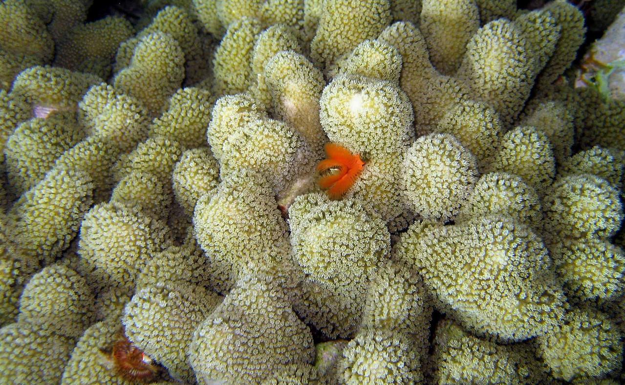 Clubbed Finger Coral -- Porites porites<br /> <br /> the beauty of corals is intimate, draws you close, can magnetize your attention to details, and should be a mandatory experience for people who don't realize our dependence upon these ecosystems.