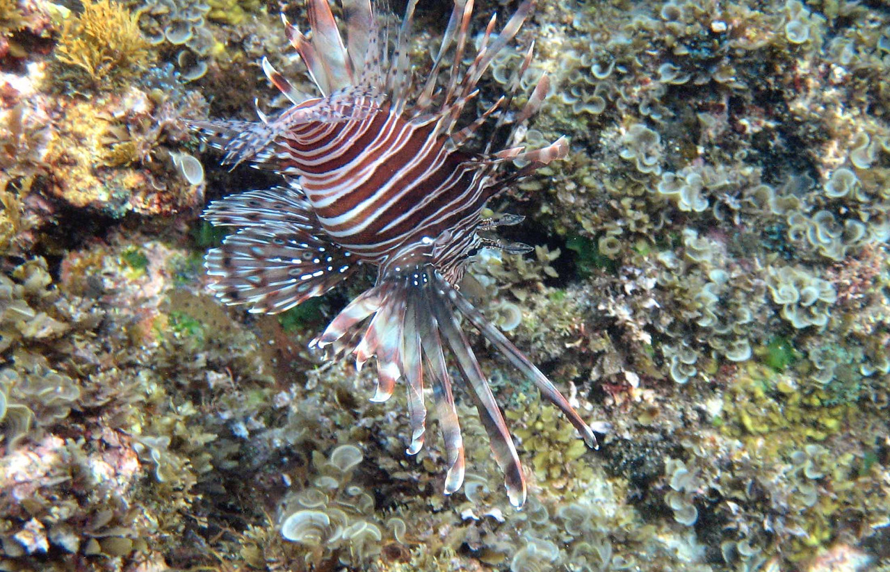 "Lionfish (invasive, poisonous) -- Pterois volitans<br /> <br /> ""Whenever the lion fish in the tank in the captain's ready room died it was always a sad moment."" -- Patrick Stewart"
