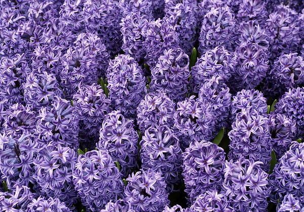 Common Hyacinths - also called Garden Hyacinth or the Dutch Hyacinth (Hyacinthus orientalisa) - a perennial plant native to southwestern Asia, Turkey, northwestern Syria, Lebanon and northern Israel - the plant was introduced to Europe in the 16th century - these specimens growing in the South Holland province
