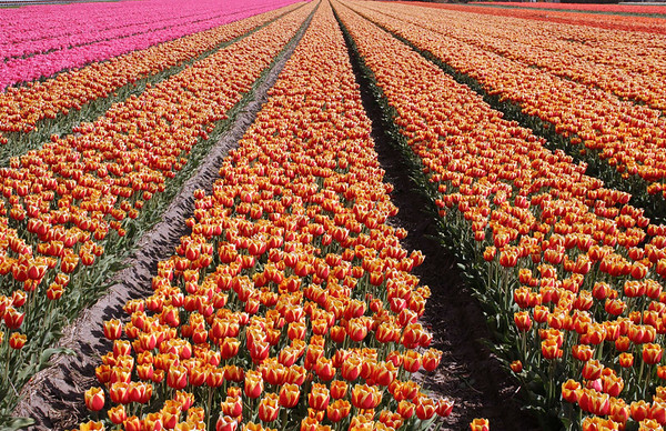 Tulips - cultivation fields near the town of Keukenhof - South Holland province