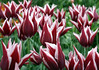 Hybrid Tulip - a Lily-flowered Tulip (the blossoms resembles a lily) - Ballade variety