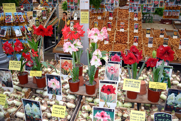 Bloemenmarkt (Flowers Market) - the florescence and bulbs of the Amaryllis, with crates of Tulip bulbs beyond - Amsterdam