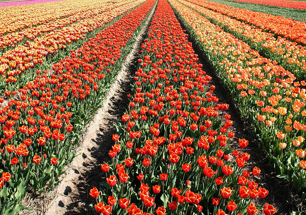 Tulips - was originally a wild flower, growing in Central Asia, and first cultivated by the Turks as early as 1000 AD - it was introduced in Western Europe and the Netherlands in the 17th century - this cultivation field located in Keukenhof, about 16 mi. (26 km) southwest of Amsterdam - South Holland province