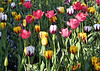 "Tulip Hybrids - ""Burning Heart"" (yellow petal with burgandy flames) - ""Pink Impression"" - ""Ice Follies"" (white petal with purple ice cycles) - as classified by the Royal Horticultural Association of Holland  - these growing in the South Holland province"
