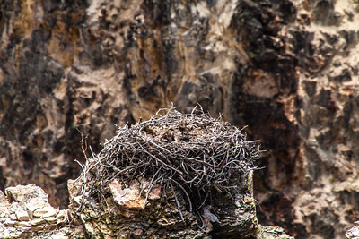 Birds--osprey-in-chicks-nest-Yellowstone-(c) Bolio-Photography