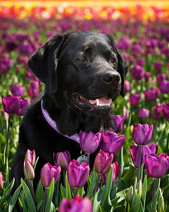 Zoey in the Tulips at the Wooden Shoe Tulip Farm near Woodburn, Oregon.