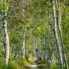 Birch Forest with Trail