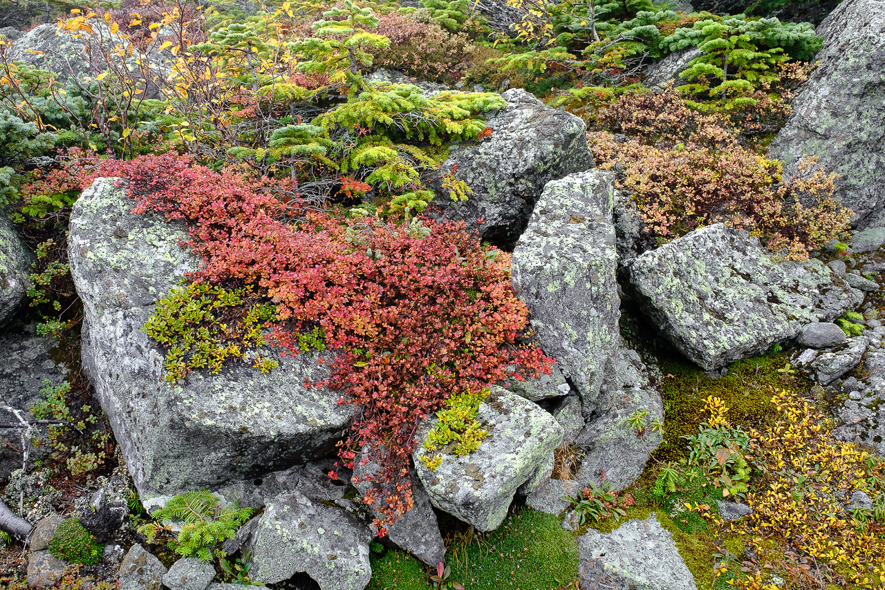 Colorful Fall Alpine Foliage on Mt. Washington, New Hampshire