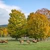 Livestock on Billings Farm